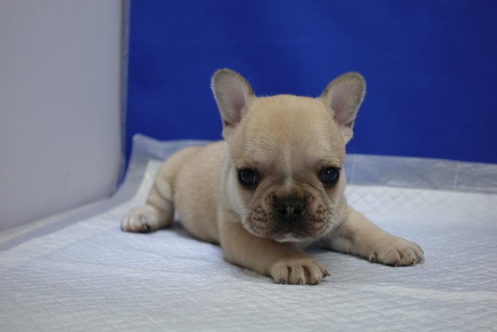 ゲキカワ!10月7日生まれのフォーンのフレンチブルドッグ