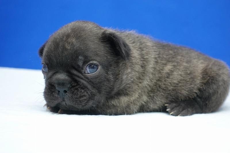 12月14日生まれのフレンチブルドッグの男の子