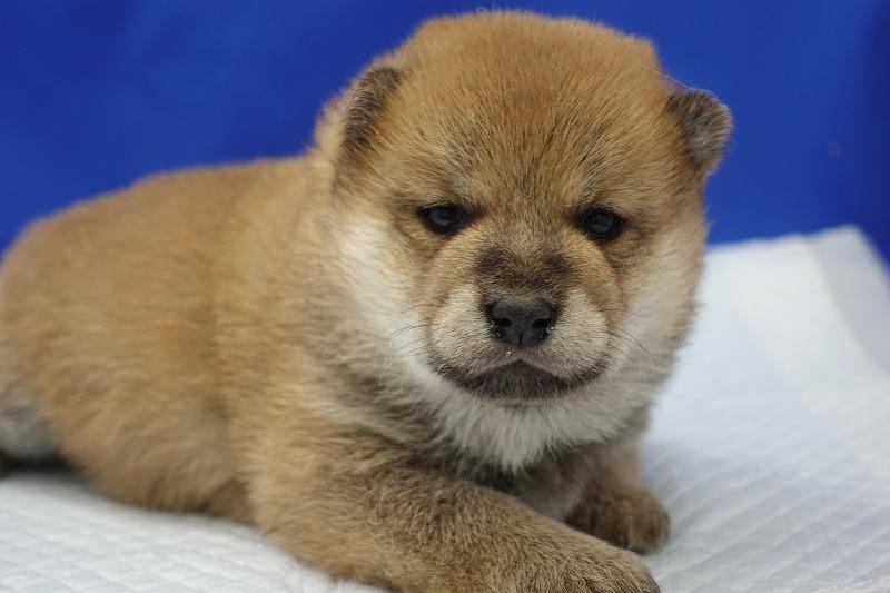 3月11日生まれの柴犬の女の子です。