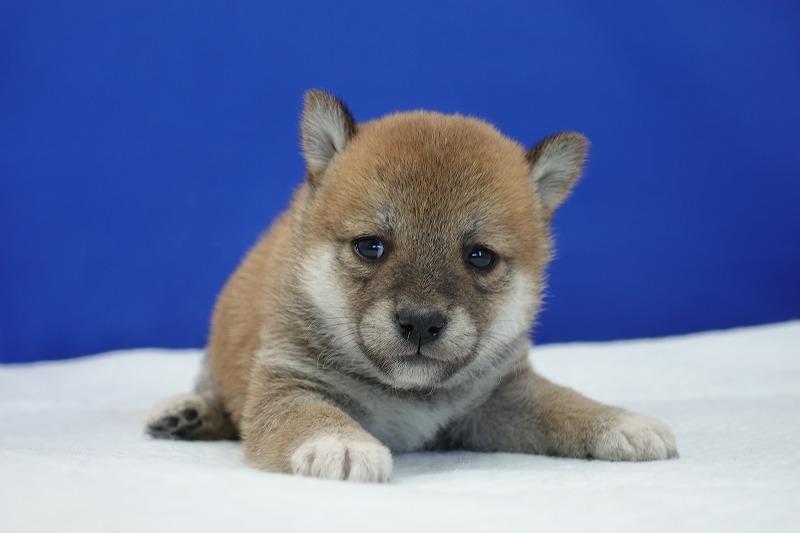 2021年12月22日生まれの柴犬の女の子です。