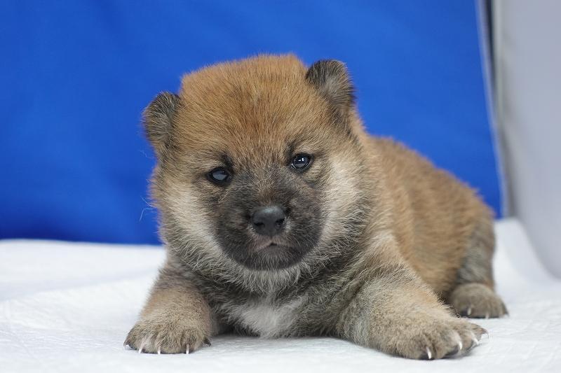 6月15日産まれの柴犬の女の子。