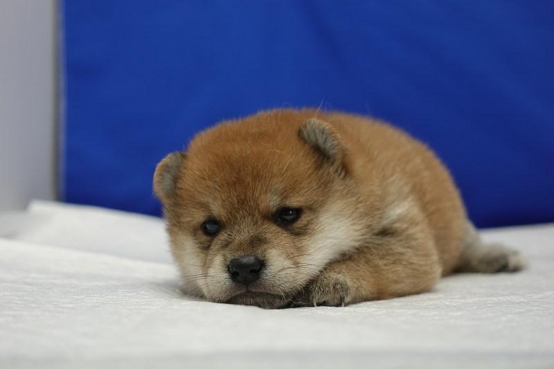 6月15日産まれの柴犬の男の子。