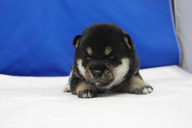 6月17日産まれの柴犬の女の子。
