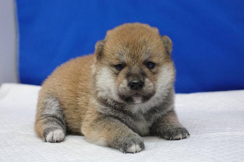 6月17日産まれの柴犬の男の子。