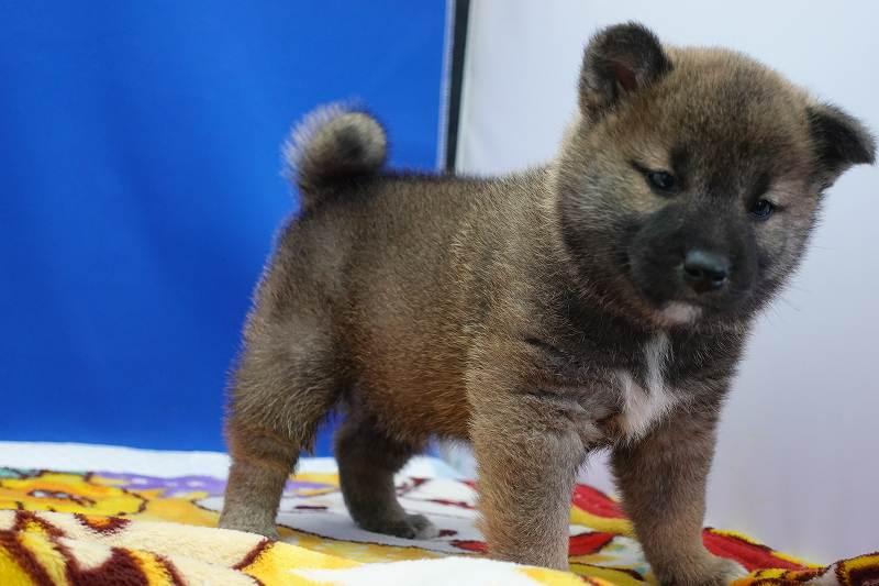 2021年12月22日生まれの柴犬の男の子です。