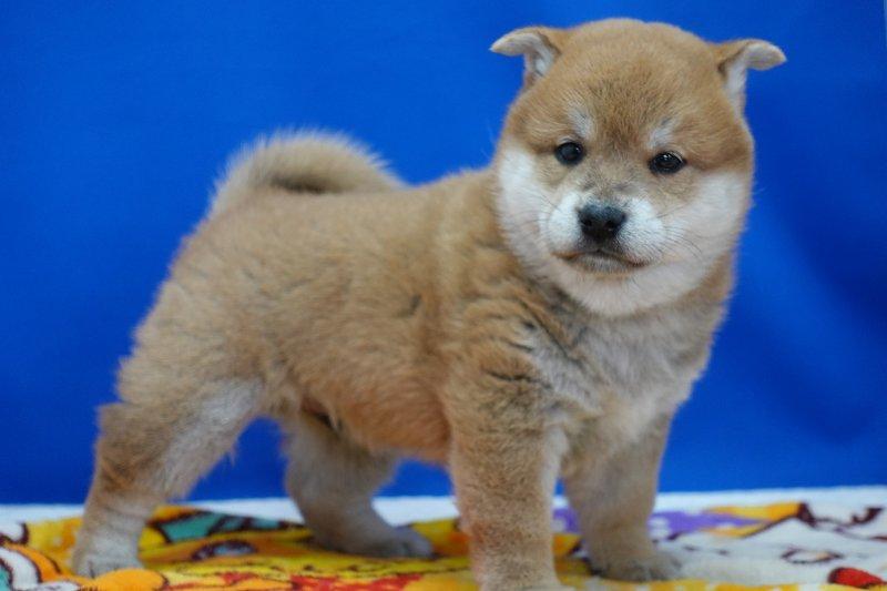2020年12月23日生まれの柴犬の男の子です。