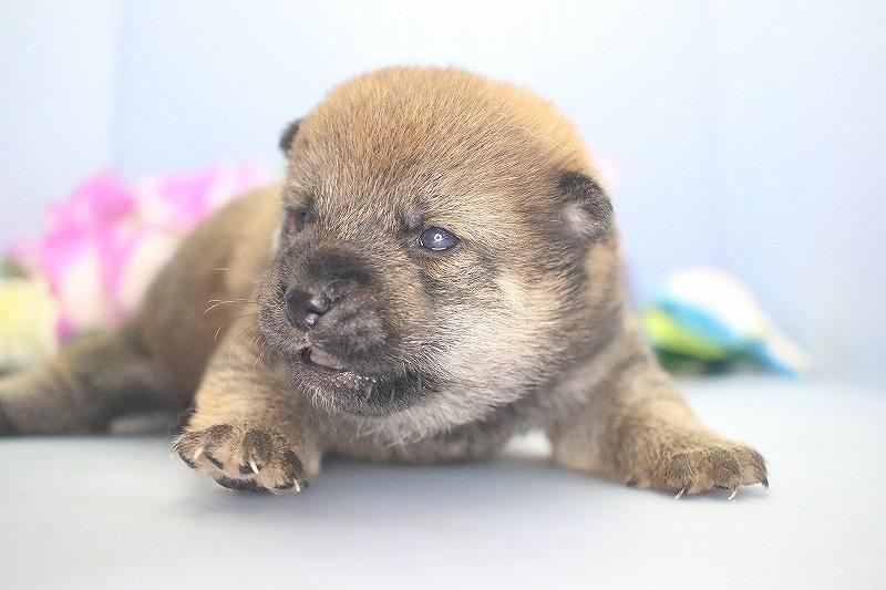 8月13日生まれの柴犬の男の子です。