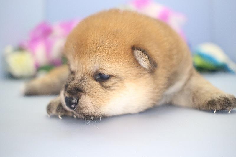 8月13日生まれの柴犬の女の子です。