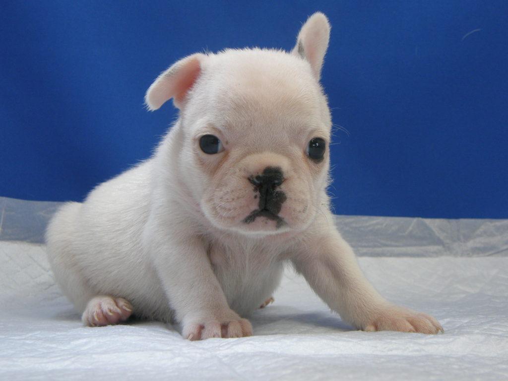 10月7日生まれのホワイトのフレンチブルドッグ