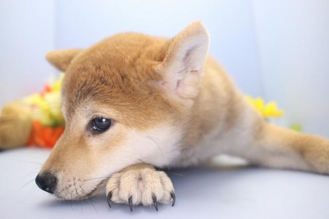 2018年12月26日生まれの柴犬の子犬(女の子)②